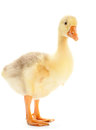 Goose isolated Royalty Free Stock Photo