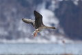 Goose in landing Stock Photography