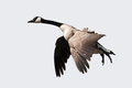 Goose landing with feet down isolated ready to land Stock Photography