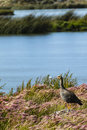 A Goose looking out over water Royalty Free Stock Photo