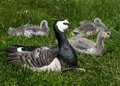 Goose mother and chicks with her offspring in grass Stock Photo
