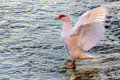 Goose with outstretched wings in a river Royalty Free Stock Photos