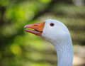 Goose portrait of in profile in green background Royalty Free Stock Photography