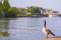 Goose on the river in the city