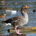 Goose on the rock Stock Image