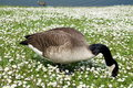Goose searches for food in a field of daisies Royalty Free Stock Photo