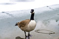 The goose a seriously looking on ice Royalty Free Stock Images