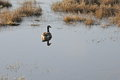 Goose solace a single floating in swamp land peaceful and serene Royalty Free Stock Images