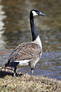 Goose standing edge water looking carefully around Stock Photography