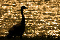 Goose in Sunset Royalty Free Stock Image