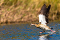 Goose take off run water egyptian on the Royalty Free Stock Photography