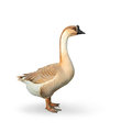 Goose on a white background the Stock Photos