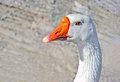 Goose white portrait with beak bright orange beak Stock Photography