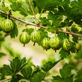 Gooseberries on a bush in the garden fresh green branch of gooseberry Royalty Free Stock Images