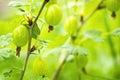 Gooseberries on bush macro Royalty Free Stock Photo