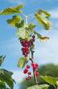 Gooseberries macro  in a field in blue sky background Royalty Free Stock Photo
