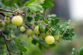 Gooseberries Royalty Free Stock Photo