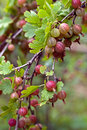 Gooseberry. Royalty Free Stock Photo