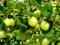 Gooseberry background Stock Image