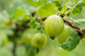 Gooseberry berries after a rain close up Stock Photography