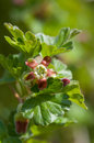 Gooseberry bloom macro shot of a in springtime Stock Images