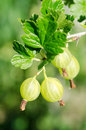 Gooseberry on a branch Royalty Free Stock Photo