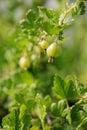 Gooseberry branch Stock Photos