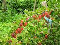 Gooseberry bush in the garden summer Stock Photo