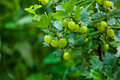 Gooseberry bush with unripe, green berries growing in a garden in the open field. Royalty Free Stock Photo