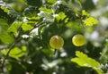 Gooseberry new crop in our garden Stock Photos