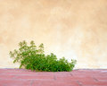 Goosegrass and wall, rustic background. Galium aparine. Stock Photography