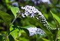 Gooseneck Loosestrife Stock Photos