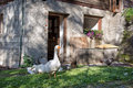 Gooses and chicken Royalty Free Stock Photo
