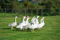 Gooses in grass fields Royalty Free Stock Photo