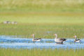 Gooses in water Royalty Free Stock Photo