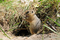Gopher (Ground Squirrel) Stock Photography