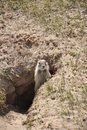Gopher in hole Stock Images