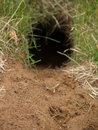 Gopher hole with fresh print Stock Photo