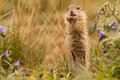 Gopher standing in green grass Stock Photo