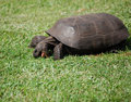 Gopher turtle. Stock Photos