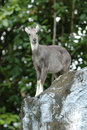 Goral Stock Photos