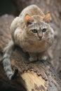 Gordon's wild cat Stock Photography