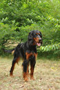 Gordon Setter / Setter King Stock Images