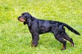Gordon Setter stands. Royalty Free Stock Photo