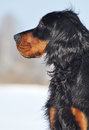 Gordon Setter in winter Royalty Free Stock Photo