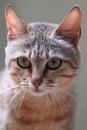 Gordon wildcat the detail of s Royalty Free Stock Photo