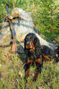 Gordonsetter hunting dog Royalty Free Stock Photo