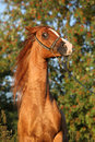 Gorgeous arabian horse prancing in the evening summer Royalty Free Stock Photos