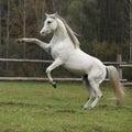 Gorgeous arabian stallion prancing on pasturage in autumn Stock Image