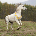 Gorgeous arabian stallion prancing on pasturage in autumn Stock Images